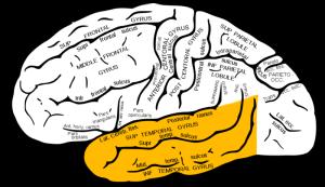 1800px-Gray726_temporal_lobe from wikimedia.org public domain
